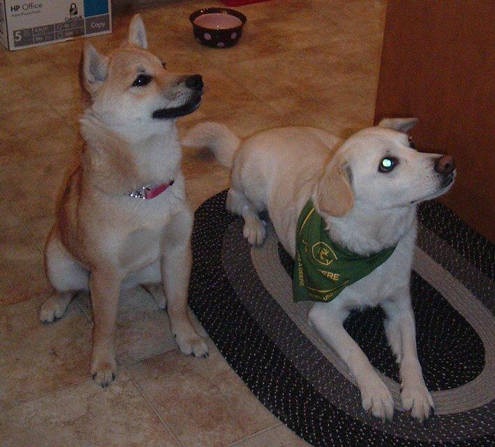 shiba inu puppy. Dog Breeds - S - Shiba Inu
